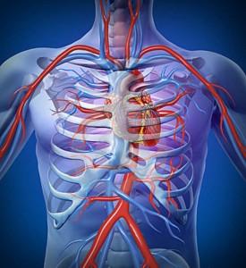 Esquema de los tipos de vasos sanguineos arteriales.