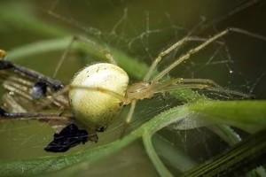 Tipos de arañas, alimentación
