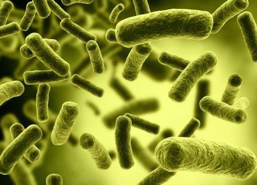 Bacterias heterótrofas