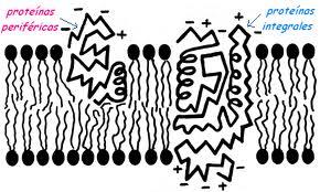 Tipos de proteína, funciones