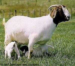 Tipos de ganadería, caprino y ovino