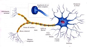Tipos de neuronas, impulsos y prolongaciones