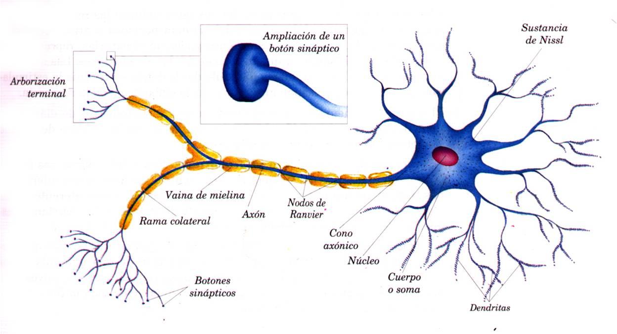 Tipos de neuronas  Tipos De