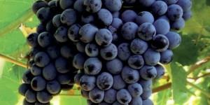 Tipos de uvas,  Syrah