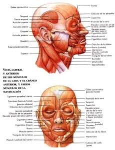 Tipos de musculos, masticación