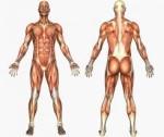 Tipos de musculos