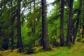 Tipos de biomas, bosques de coníferas
