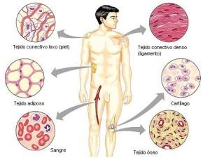 Tipos de celula, del tejido muscular