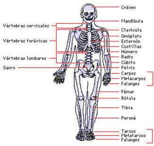 Tipos de huesos, cantidad