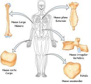 Tipos de huesos, el esqueleto