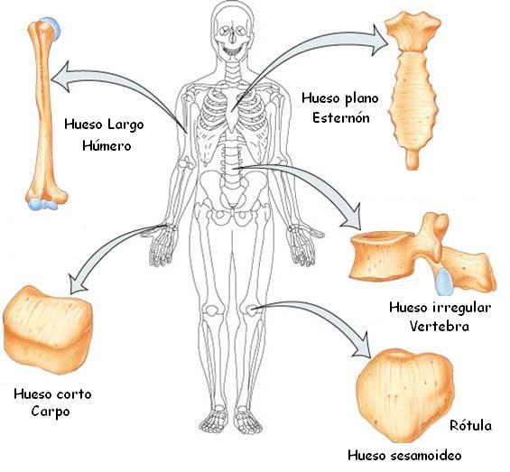 Tipos De Huesos Tipos De