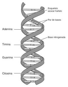 Tipos de ácidos, desoxirribonucleico