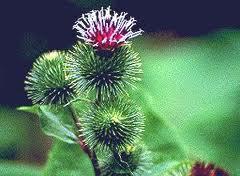 Tipos de plantas medicinales, bardana