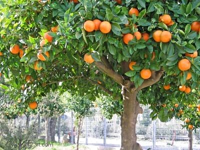 Tipos de rboles tipos de - Como se podan los arboles frutales ...