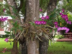 Tipos de orquídeas, epífitas