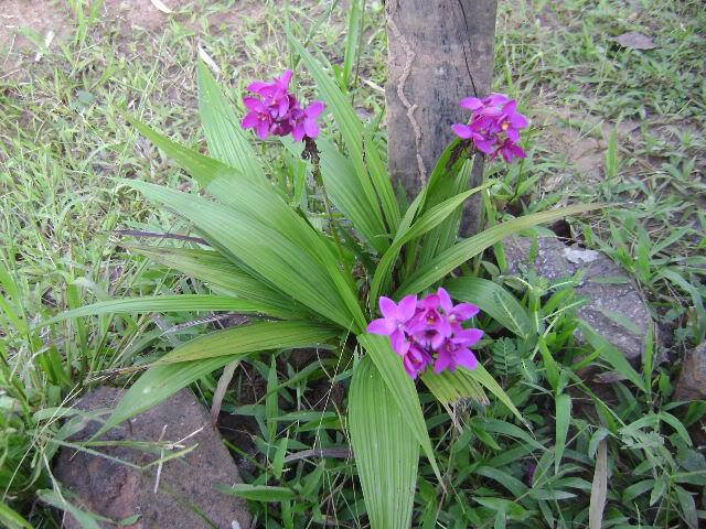 Tipos de orquídeas, terrestres