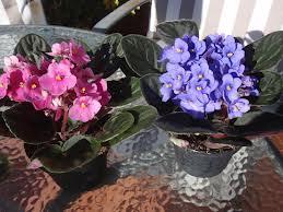 Tipos de flores y sus nombres: La violeta