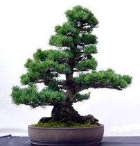 Tipos de pinos :Taeda
