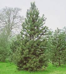 Tipos de pinos: contorta