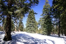 Tipos de pinos: ponderosa