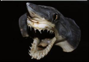 Tipos de tiburones cocodrilo