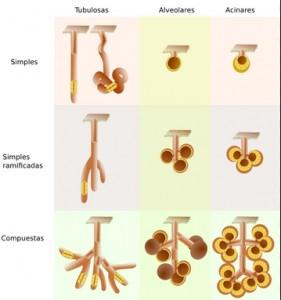 tipos de glándulas exocrinas
