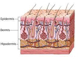 caracteristicas de la piel