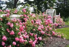 Tipos de jardines de rosas