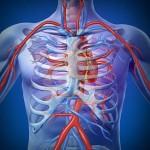 Tipos de vasos sanguineos humano