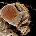 Tipos de moscas en el mundo