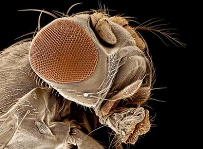 Tipos de moscas que existen en casi todo el mundo y son portadoras de enfermedades.