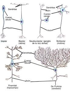 Tipos de neuronas, clasificación