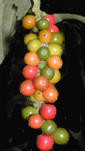 Tipos de pimienta, Piper nigrum