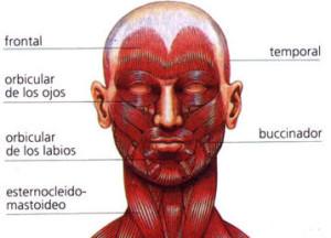 Tipos de musculos, de la mímica