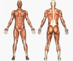 Tipos de musculos, propiedades