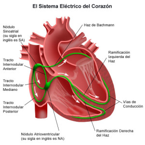 Tipos de tejidos, muscular cardíaco