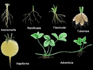 Tipos de raíces, clasificación