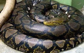 Tipos de serpientes, no venenosas