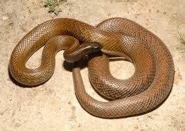 Tipos de serpientes, venenosas