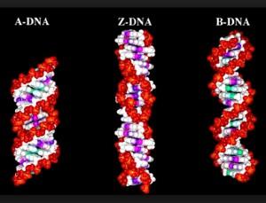 Tipos de ADN, ADN-A