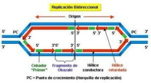 Tipos de ADN, duplicación