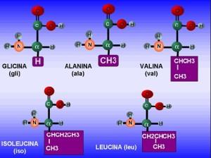 Tipos de aminoácidos, no esenciales