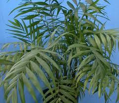 Tipos de palmeras, Chamaedirea elegans