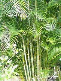 Tipos de palmeras, Chrysalidocarpus lutescens