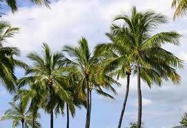 Tipos de palmeras, Cocos nucifera