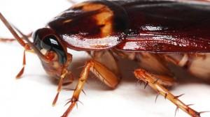 Tipos de cucarachas German Cockroach
