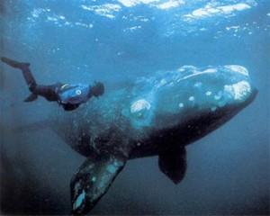 Tipos de ballenas boreal
