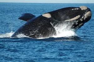 Tipos de ballenas franca