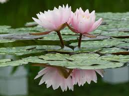 Tipos de flores y sus nombres: Flor de loto