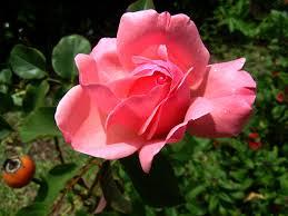Tipos de flores y sus nombres: Las rosas
